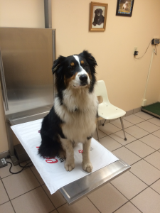 Moseby is a 2 year old male neutered Australian Shepherd.